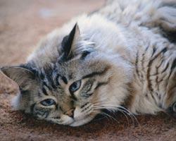 Cura del gatto anziano