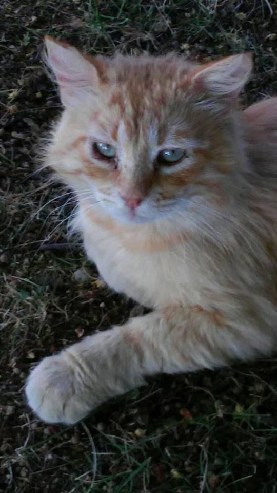 Gatto Adulto Pelo Lungo Rosso Lo Scudo Di Pan Onlus