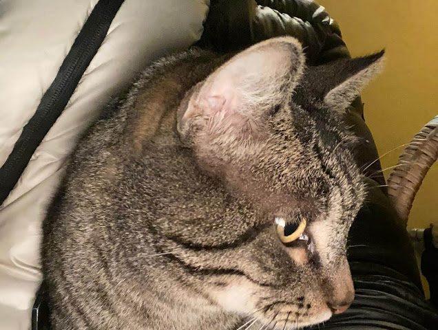 Tigro, gatto coccolo